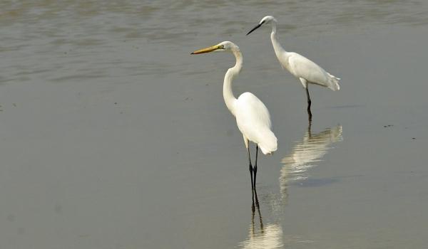 Great Egret & little Egret