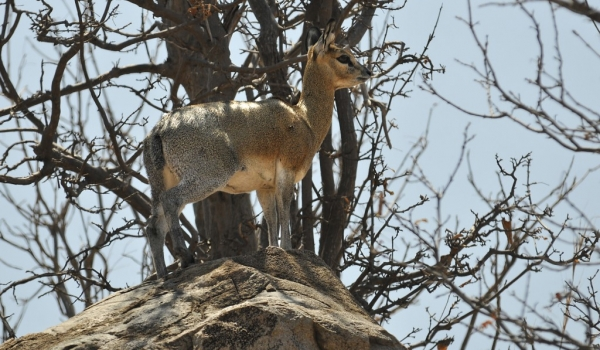 Klipspringer – female