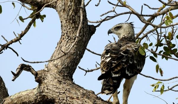 Martial Eagle – juvenile