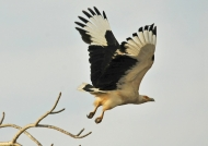 Palm-nut Vulture