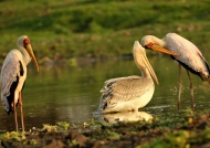 Pink-backed Pelican & Storks