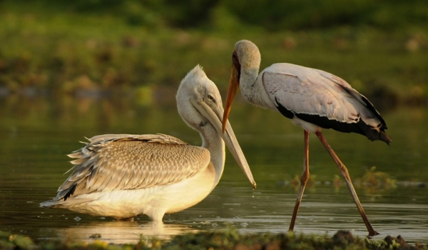 Pink-backed Pelican & Stork