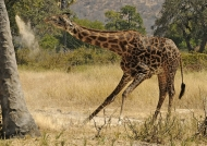 Masai Giraffe spitting dust