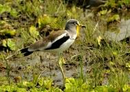 White-crowned Lapwing