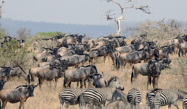 Wildebeests & Zebras