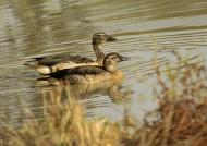 Yellow-billed Ducks – couple