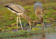 Yellow-billed Storks –  juv.