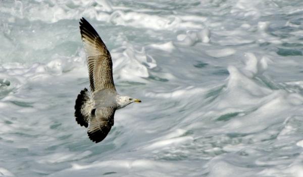 European Herring Gull – juv.