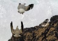 Herring Gulls – juv. & ad.