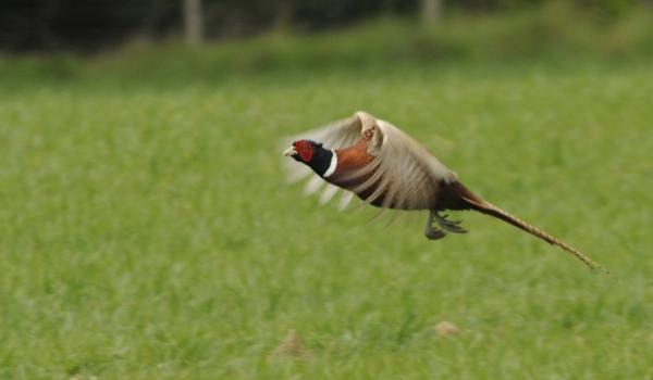 Common Pheasant – male