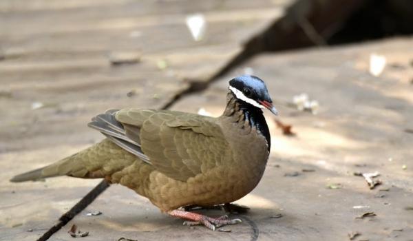 Blue-headed Quail Dove