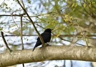 Cuban Blackbird