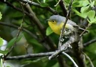 Oriente Warbler