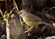 Zapata Sparrow (Endangered)