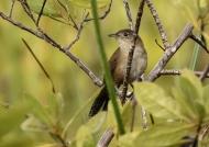 Zapata Wren (Endangered)
