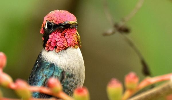 Same Bee Hummingbird-male