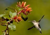 Bee Hummingbird – juv.