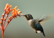 Bee Hummingbird – female