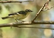 Black-throated Blue Warbler f