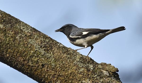 Black-throated Blue Warbler m