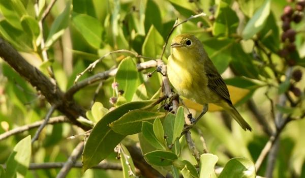 Common Yellowthroat-f.