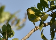 Common Yellowthroat-f.