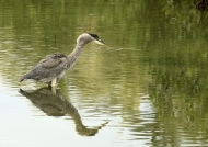 Great Blue Heron – juv.