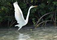 Great Blue Heron-white morph