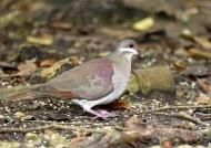 Key West Quail Dove