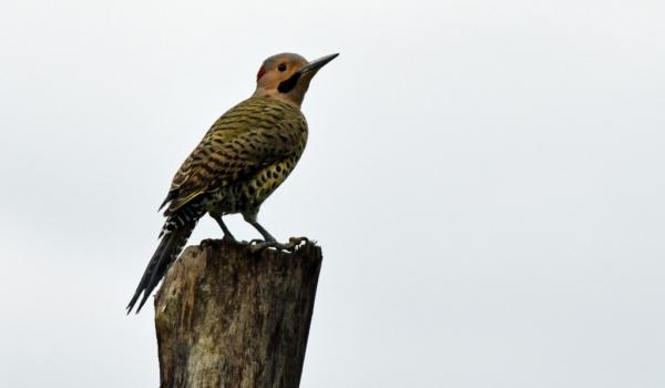 Northern Flicker – male