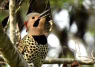 Northern Flicker – male