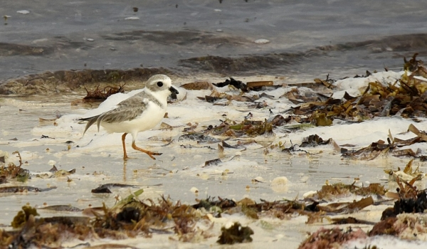 Piping Plover, winter plumage