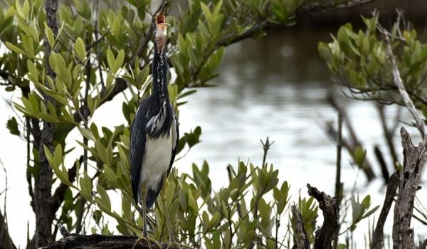 Tricolored Heron yawning?