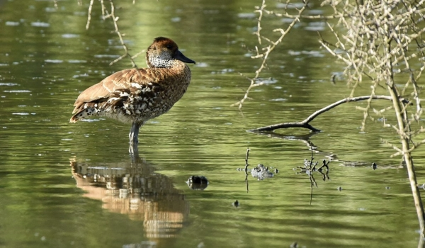 West Indian Whistling Duck