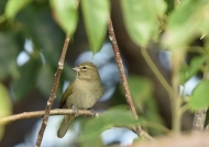 Yellow-faced Grassquit -f.
