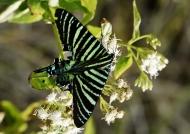 Urania Moth