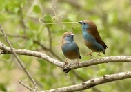 South Africa – Blue Waxbills – courtship