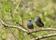 Blue Waxbills – courtship