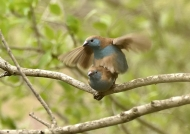 Blue Waxbills – mating