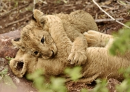 Two cubs playing together