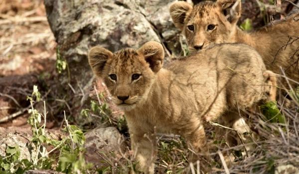Cubs of 8 to 10 weeks old