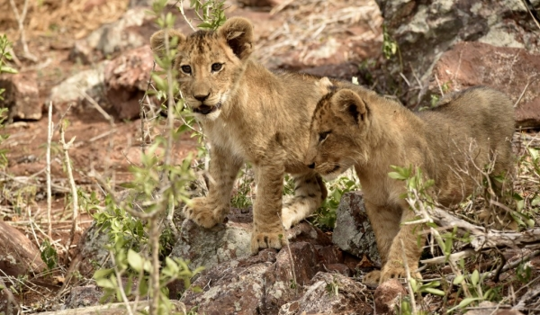 Cubs looking around
