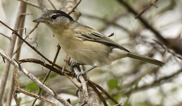 Black-backed Puffback – Juv.