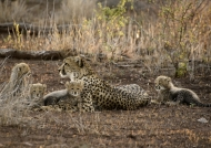 Cheetah with her cute cubs