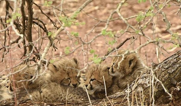 The 4 cheetah cubs sleeping