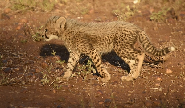 Cub wandering alone
