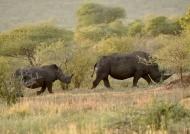 Female White Rhino with calf