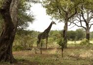 Giraffe strolling