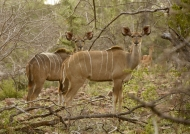 Greater Kudus – females