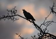 Grey Go-Away Bird at sunset